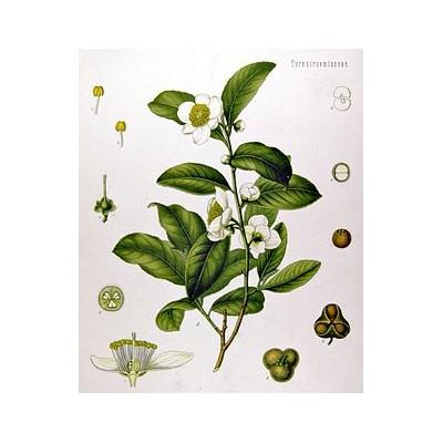 La planta del Te